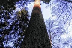 Der Höchste Baum Deutschlands